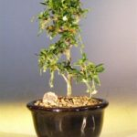 Fukien Tea Bonsai Tree – Small Straight Trunk Style (ehretia microphylla)