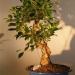 Ficus Retusa Golden Coin Bonsai Tree Curved Trunk – Large (ficus retusa)