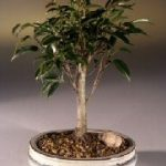 Ficus Midnight Bonsai Tree- Medium (benjamina 'midnight')