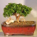 Japanese Kingsville Boxwood – Medium (buxus microphylla 'compacta')