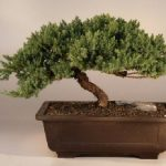 Juniper Windswept – Extra Large (juniper procumbens 'nana')
