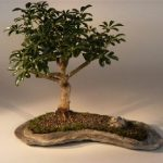 Hawaiian Umbrella Bonsai Tree on a Rock Slab (arboricola schefflera 'luseanne')