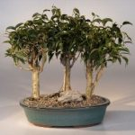 Oriental Ficus Bonsai – 3 Tree Group (ficus benjamina 'orientalis')