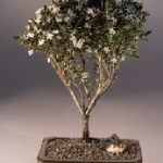 FREE SHIPPING ON THIS TREE Flowering Mount Fuji Serissa – Medium (serissa foetida)