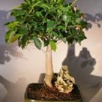 Ficus Root Over Rock Bonsai Tree (ficus retusa)