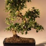Fukien Tea Flowering Bonsai Tree – Large Curved Trunk Style (ehretia microphylla)