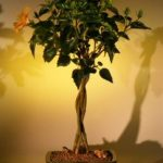 Flowering Mango Mist Tropical Hibiscus – Braided Trunk Style (rosa sinensis)
