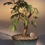 Flowering Mimosa Bonsai Tree – Large (leucaena glauca)
