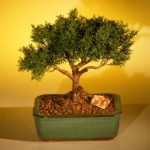 FREE SHIPPING ON THIS TREE Shimpaku Bonsai Tree Bonsai Tree – Large (shimpaku itoigawa)