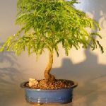 Flowering Tamarind Bonsai Tree – Large (tamarindus indica)