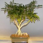 Hawaiian Umbrella Bonsai Tree – Large Exposed Roots (arboricola schefflera 'luseanne')