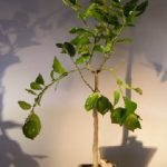 Flowering Persian Lime Bonsai Tree (citrus latifolia)