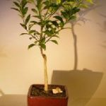 Flowering Tangerine Citrus Bonsai Tree – Seedless (kishu mandarin)