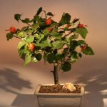 Flowering Dwarf Hibiscus Red Chinese Lantern – Medium (hibiscus grandidieri)