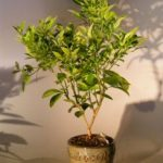 Blood Orange Bonsai Tree ('citrus sinensis')
