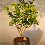 Key Lime Bonsai Tree (citrus aurantifolia)