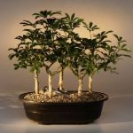 Hawaiian Umbrella Bonsai Tree Five Tree Forest Group (arboricola schefflera 'luseanne')