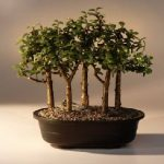 Baby Jade Bonsai Tree Five Tree Forest Group (Portulacaria Afra)