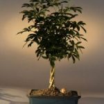 Hawaiian Umbrella Bonsai Tree Braided Twist (Arboricola Schefflera 'Luseanne')
