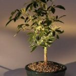 Golden Hawaiian Umbrella Bonsai Tree – Small (arboricola schefflera 'luseanne')