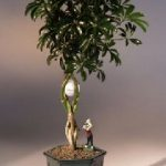 Golf Ball Hawaiian Umbrella Bonsai Tree With Miniature Golfer Figurine (arboricola schefflera)