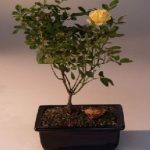Flowering Mini Rose Bonsai Tree Tiny Yellow
