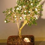 Flowering Snow Rose Serissa Bonsai Tree – Large (serissa foetida)