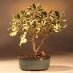 Flowering Japanese Mock Orange Bonsai Tree – Variegated (pittosporum tobira variegata)