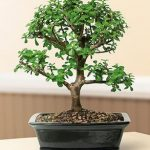FREE SHIPPING ON THIS TREE Baby Jade Bonsai Tree – Large (Portulacaria Afra)