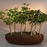 Hawaiian Umbrella Bonsai Tree 7 Tree Forest Group (arboricola schefflera 'luseanne')