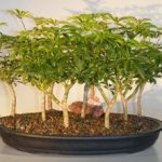Hawaiian Umbrella Bonsai Tree 9 Tree Forest Group (arboricola schefflera 'luseanne')