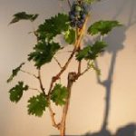 Grapevine Bonsai Tree (cabernet sauvignon)
