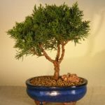 Shimpaku Bonsai Tree – Medium (shimpaku itoigawa)