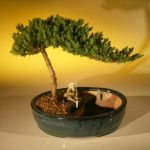 Juniper Bonsai Tree/Water Bonsai Pot – Medium (juniper procumbens nana)