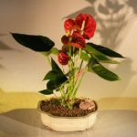 Flowering Red Anthurium(small talk) Bonsai Tree (anthurium andraeanum)