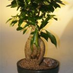 Ginseng Ficus Bonsai Tree – Large (Ficus Retusa)