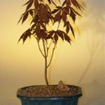 Japanese Red Maple Bonsai Tree – Small (acer palmatum 'atropurpurea')