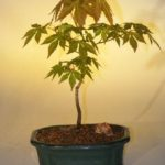 Japanese Green Maple Bonsai Tree – Small (acer palmatum)