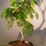 Flowering Brazilian Raintree Bonsai Tree – Medium (pithecellobium tortum)
