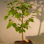 River Birch Bonsai Tree (betula nigra)