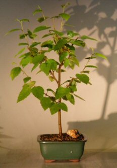 River Birch Bonsai Tree Betula Nigra Unique Bonsai Trees Bonsai Trees At Discounted Prices
