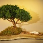 Shimpaku Juniper Bonsai Tree Planted on a Rock Slab (juniperus chinensis)