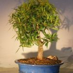 Willow Leaf Ficus Bonsai Tree – Large (ficus nerifolia/salicafolia)