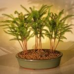 Norfolk Island Pine Bonsai Tree Three (3) Tree Forest Group (araucaria heterophila)