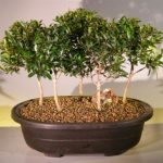 Flowering Brush Cherry Bonsai Tree Five Tree Forest Group (eugenia myrtifolia)