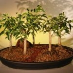 Oriental Ficus Bonsai Tree Five (5) Tree Forest Group (benjamina 'orientalis')