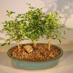 Flowering White Serissa Bonsai Tree Bonsai Tree of a Thousand Stars Three Tree Forest Group (serissa japonica)