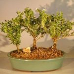 Flowering Mount Fuji Serissa Bonsai Tree Three Tree Forest Group (serissa foetida)
