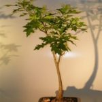 Pin Oak Bonsai Tree ('quercus palustris')