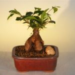 Ginseng Ficus Bonsai Tree – Small (Ficus Retusa)
